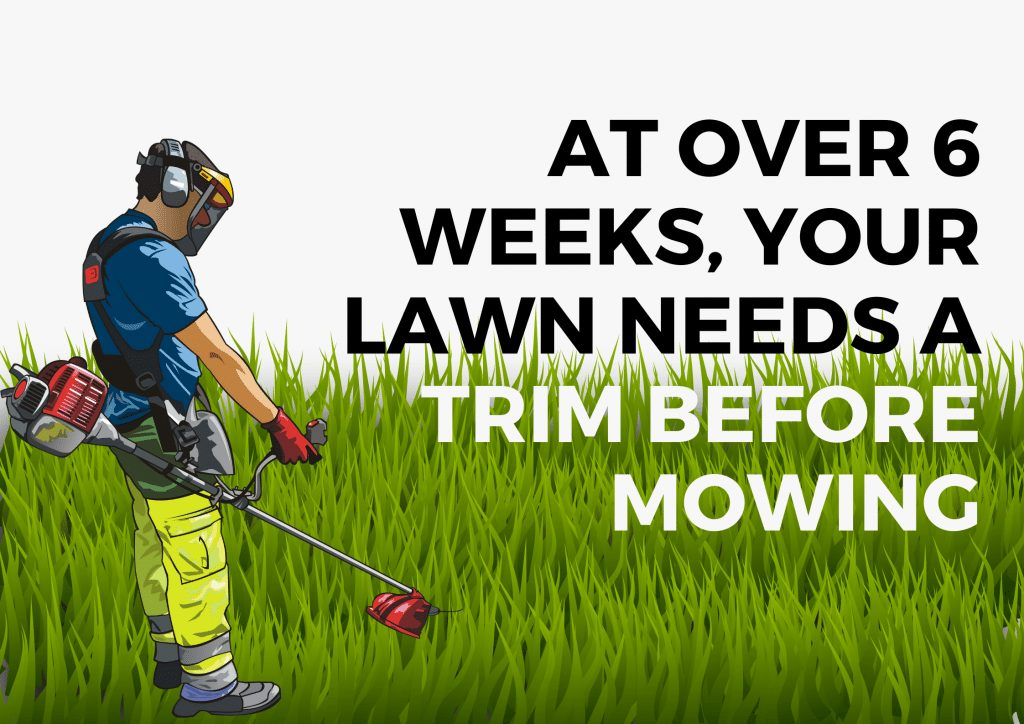 after six weeks your lawn needs a trim before mowing